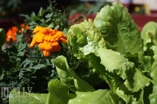 garden lettuce marigold