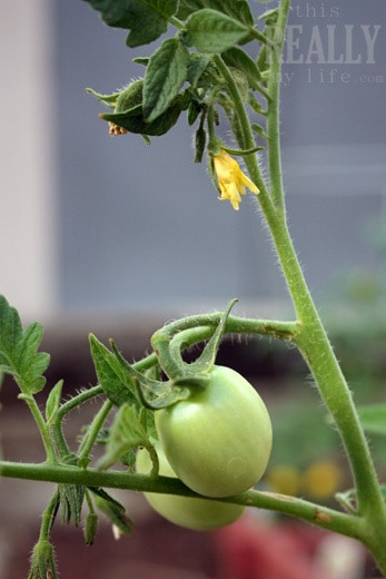 garden tomato flower
